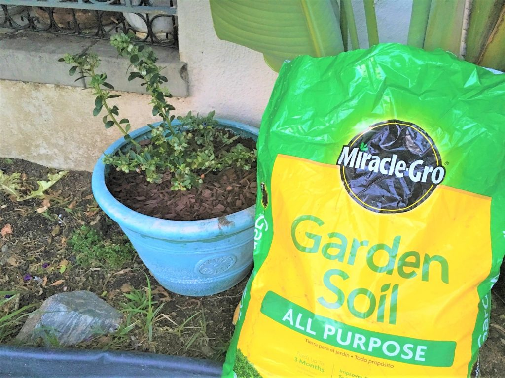 Growing Blueberries with Miracle Gro